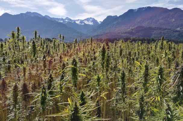 Cannabis-Related Investments showing hemp field